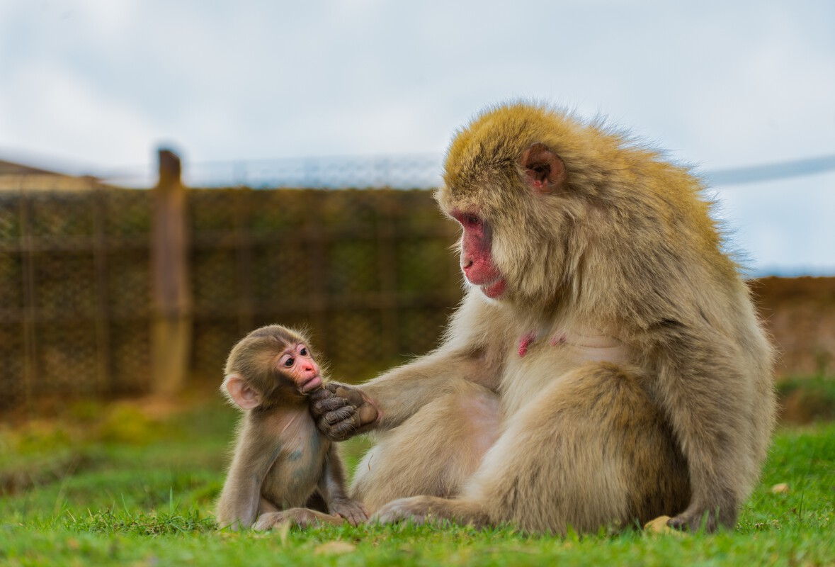 Allegra, Francesca - Mama Macaque and Her Miniature, 2018